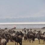 Gnous et flamands Ngorongoro