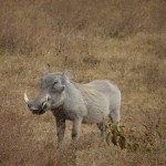 Phacochère Ngorongoro