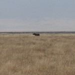 Rhinocéros Serengeti