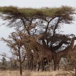 Girage Serengeti