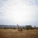 Girafe Serengeti