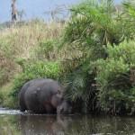Hippopotame Serengeti