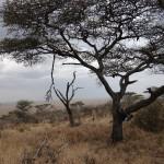 Arbre Serengeti