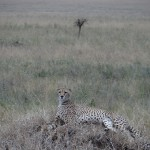 Panthère Serengeti